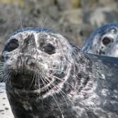 Pacific Harbour Seal by Sandy McRuer - Adventuress Sea Kayaking