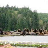 Sea Lion Tour with Adventuress Sea Kayaking