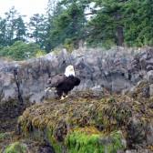Bald Eagle Wildlife Tour with Adventuress Sea Kayaking