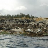 Pacific Harbour Seals - Adventuress Sea Kayaking Tour