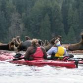 Sea Lions Kayaking Tour with Adventuress Sea Kayaking