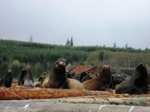 Sea Lions in Nanoose